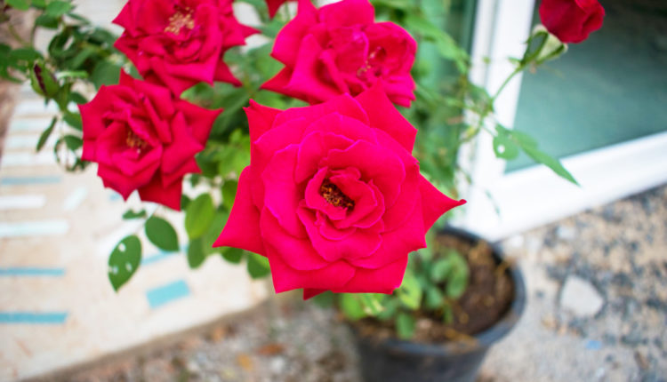 Come curare le rose in vaso assistenza casa blog for Roselline in vaso